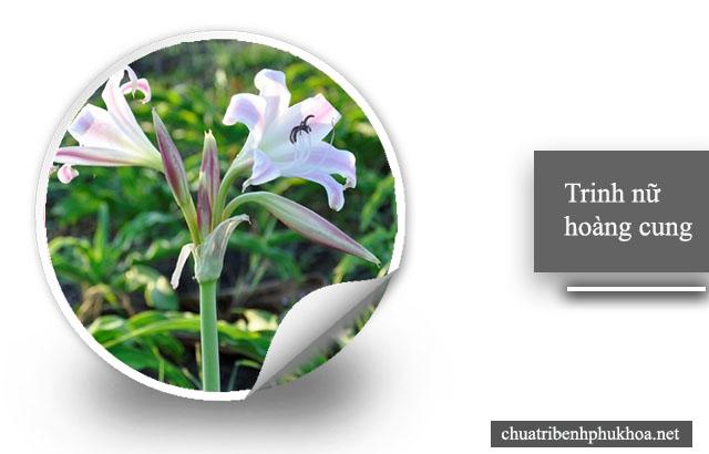 Bị u xơ cổ tử cung nên dùng cây trinh nữ hoàng cung để điều trị