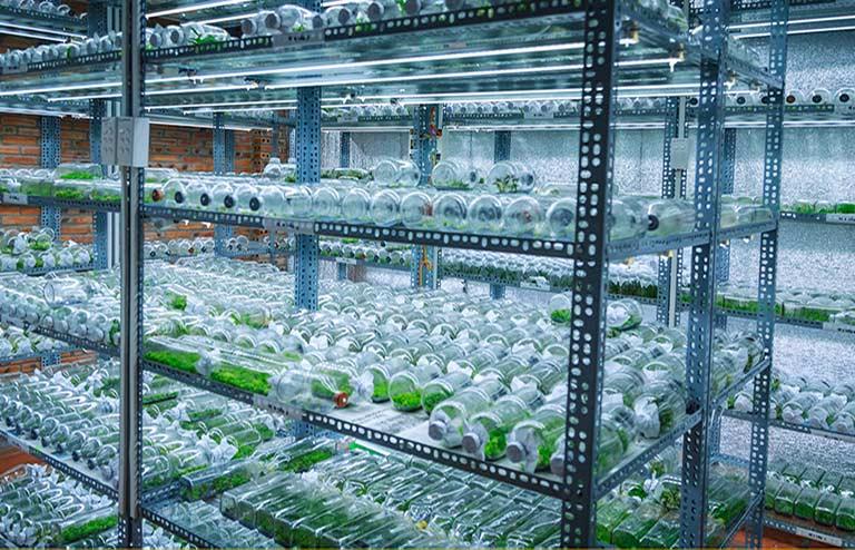 Công nghệ nuôi cấy mô giúp nhân giống chất lượng hơn